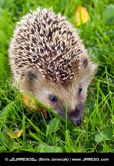 Hedgehog по зелената трева