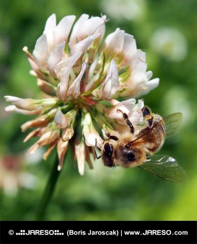 Bee опрашващи детелина цвете