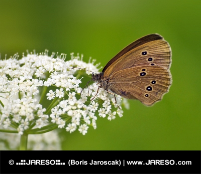 Butterfly (Coenonympha) на бяло цвете