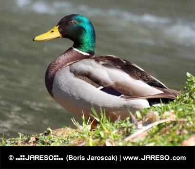 Мъж зеленоглави патици (Anas platyrhynchos)