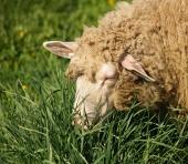 Овце портрет