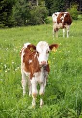 Крава и теле
