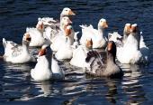 Closeup на гъски във вода