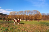 Крави на поле през есента