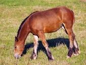Young кон пашата върху поляна