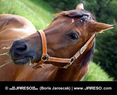 Portræt af hest spiser græs