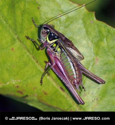 Grasshopper på grønne blad