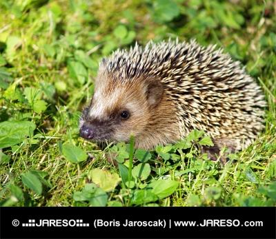 Hedgehog på grønt græs