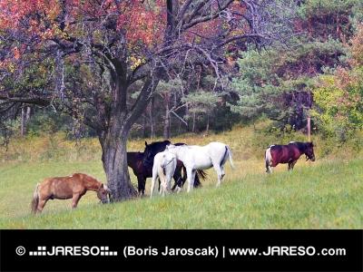 Heste græsning i området