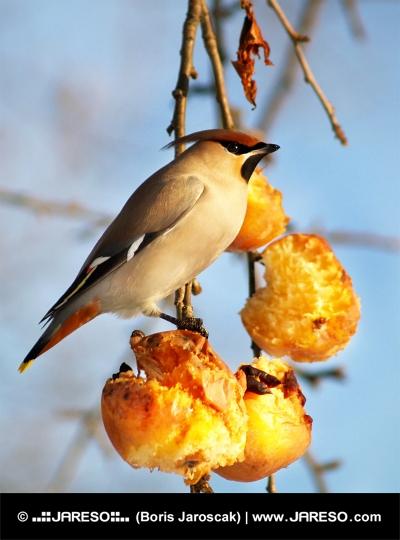 Sultne fugle spise æbler