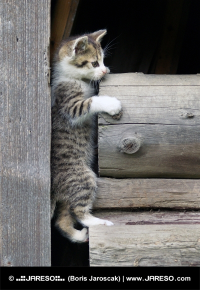 Kitten klatring p? stablede tr?