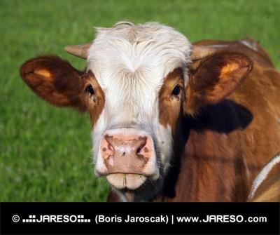 Brun og hvid ko portr?t