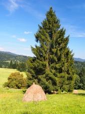 En stak af en hø under gran træ