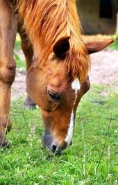 Hest spiser græs