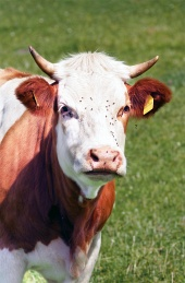 Mælk ko portræt