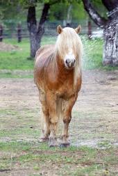 Pony med langt hår