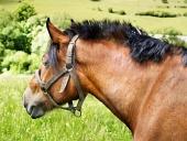 Portræt af hest