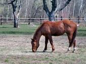 Horse græsning i området