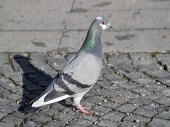 Grey Rock Dove eller Common Pigeon