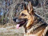 Schæferhunden