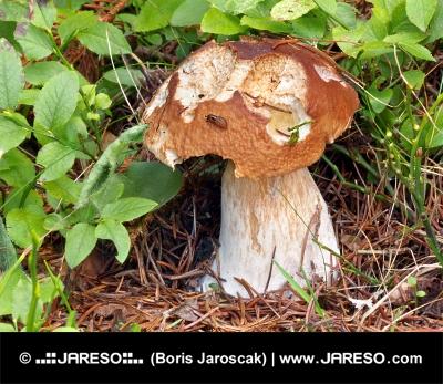 Eine teilweise gebissen Sommersteinpilz in der Natur
