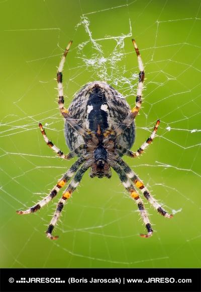 Eine Nahaufnahme der kleinen Spinne spinnt Netz