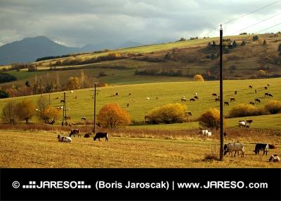 Wiese mit Kühen bei bewölktem Tag im Herbst