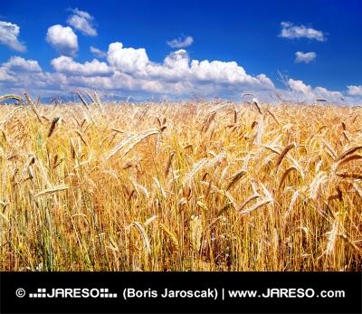 Golden Weizen und Himmel im Hintergrund
