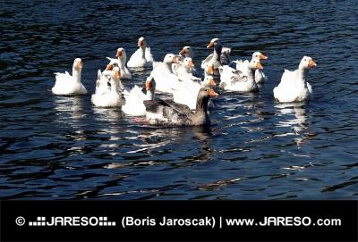 Flock von Gänsen im Wasser