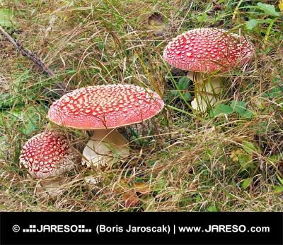 Drei rote Amanita muscarias im hohen Gras