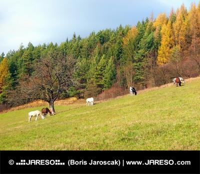 Pferde grasen auf Herbst Feld