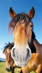 Pferd schaut in die Kamera