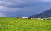 Eine Menge der Schafe auf der Wiese vor dem Sturm