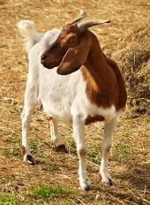 Portrait der Ziege