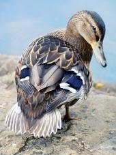 Weibliche Stockente Ente