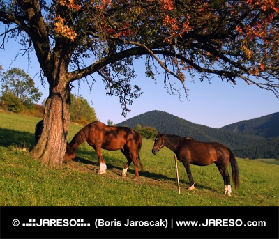 Άλογα κάτω από κόκκινο δέντρο