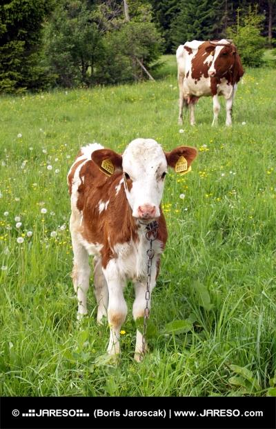 Αγελάδα και μοσχάρι