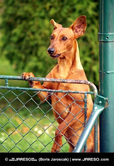 Σκύλος που αναζητούν πάνω από φράχτη