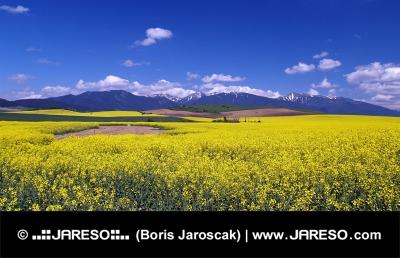 Campo amarillo y montañas de Rohace, Eslovaquia