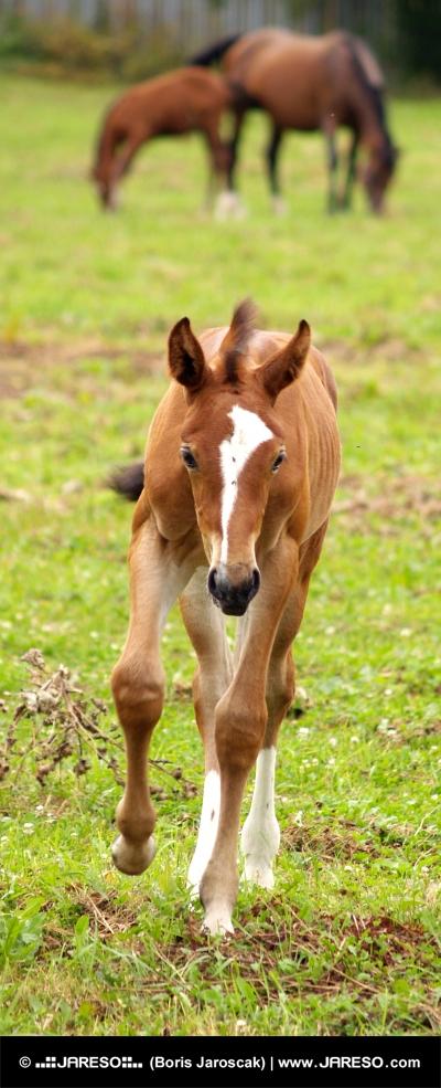 Joven potro funcionamiento y otros caballos pastando en el fondo