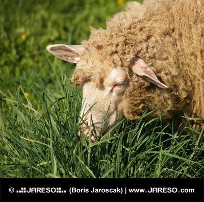 Retrato de las ovejas
