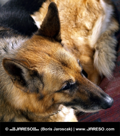 Retrato de un perro pastor alemán
