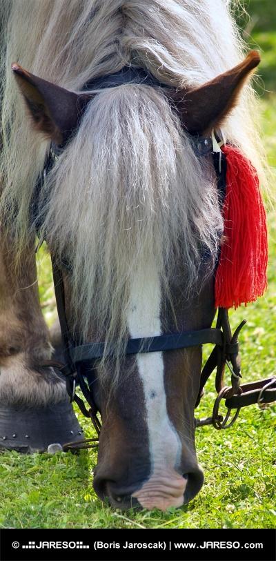 Caballo con rojo roseta