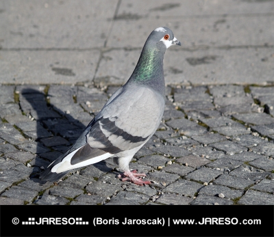 Grey Rock Dove, o Paloma común
