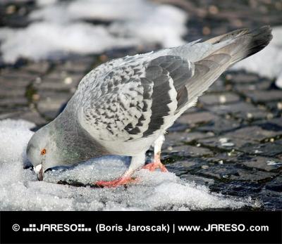 Pigeon tratando de encontrar comida en la nieve