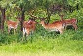 Un pequeño rebaño de machos de los ciervos en barbecho