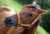 Retrato de caballo comiendo hierba