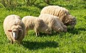 Familia de las ovejas