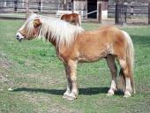 Pony en el campo
