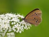 Butterfly (Coenonympha) en la flor blanca